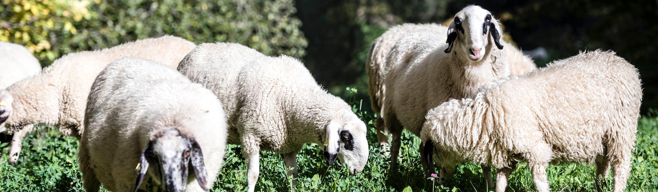 Schafe am Niederthalerhof